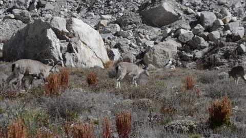 Himalayan blue sheep Pseudois nayaur HD
