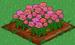 Pink Rose 100