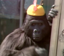 Tracy the Gorilla