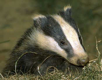 File:BADGER!!!.jpg