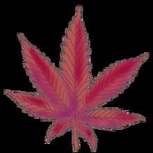 Cannabis cinderella