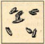 File:Aniseed.PNG