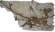Tianyuraptor skeleton 1