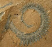 Helicoprion nevadensis