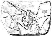 Pterodactylus antiquus 1888 Lydekker R