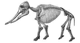 Masthodon angustidens