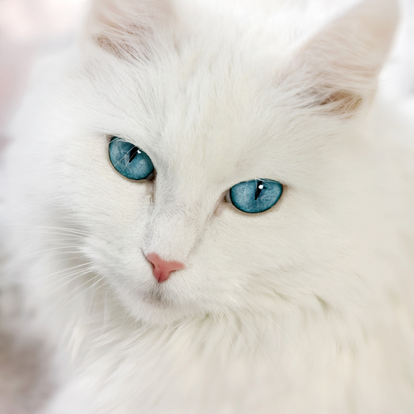 Image - 600px-white-cat-with-blue-eyes.jpg | Free Realms ...