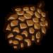 Pine Cone-icon