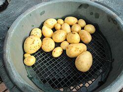 Vivaldi Potato Variety