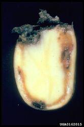 Potato Southern Bacterial Wilt Ralstonia solanacearum