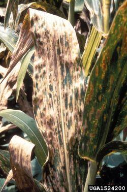 Corn Cercospora leaf spot Cercospora zeae-maydis