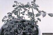 Raspberry Rasberry leaf curl virus
