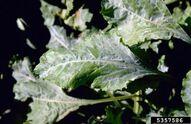 Beet Powdery Mildew Erysiphe polygoni