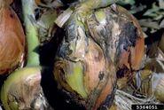 Onion Neck Rot 2