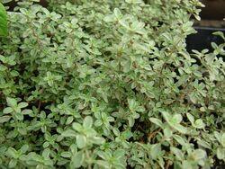 Lemon thyme Argenteus