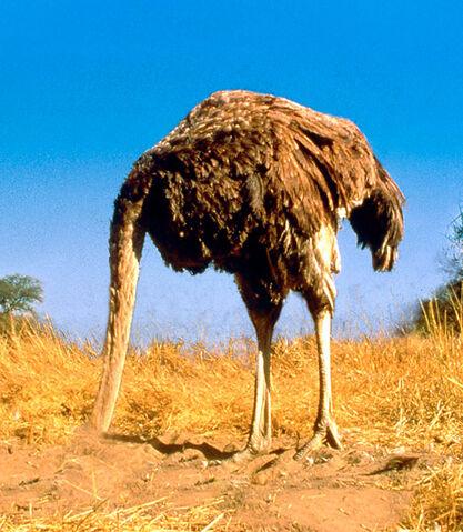 File:Ostrich head in sand.jpg