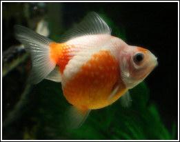 escama de perla egoldfish fandom powered by wikia