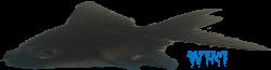 Goldfish Wiki