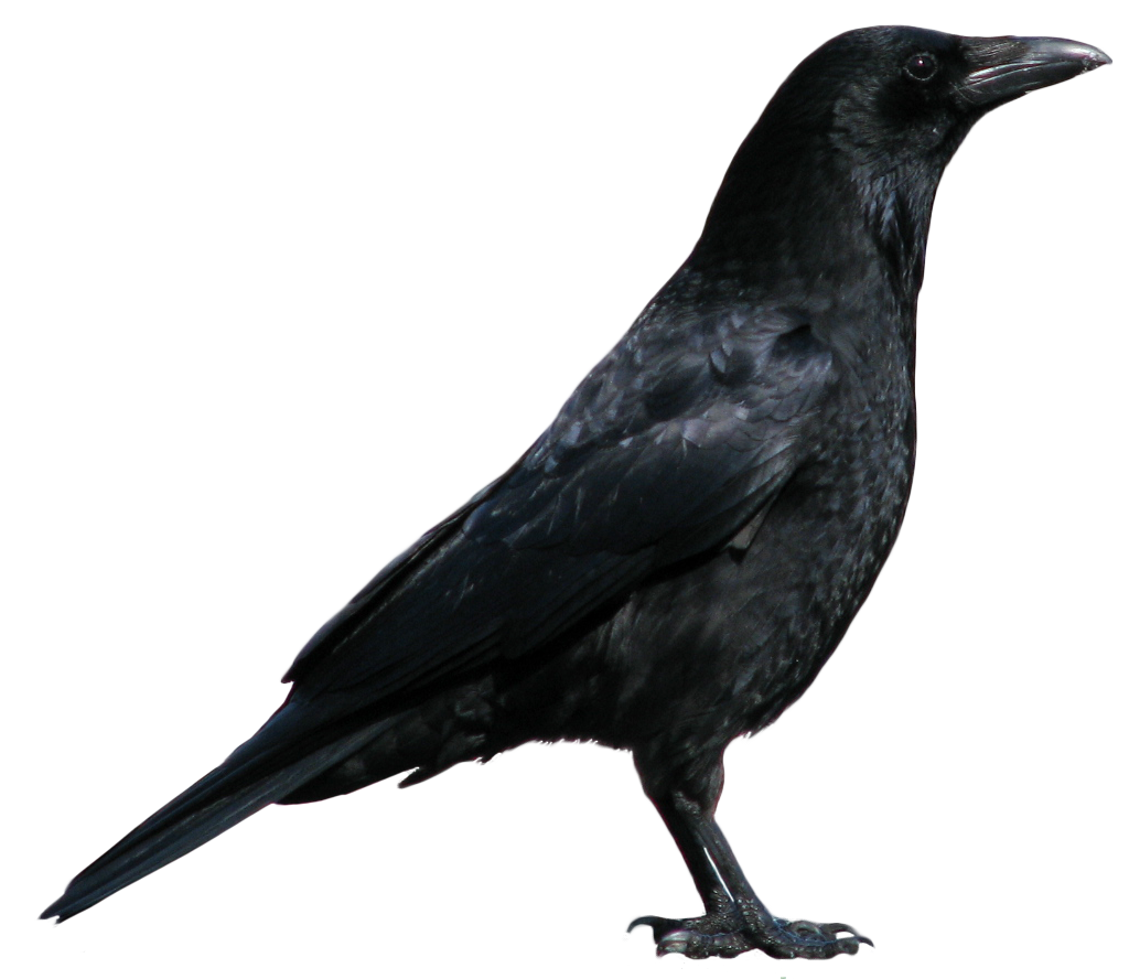 crow greek mythology wiki fandom powered by wikia