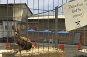 Director Mode Actors GTAVpc Animals Rabbit