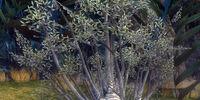 Stormseed Jacaranda