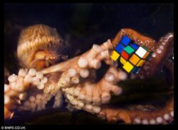 Octopus with rubik's