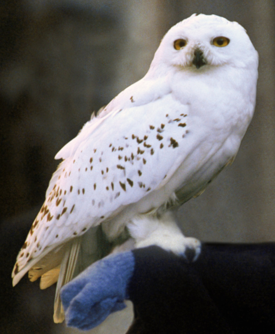 Snowy Owl Harry Potter Wiki