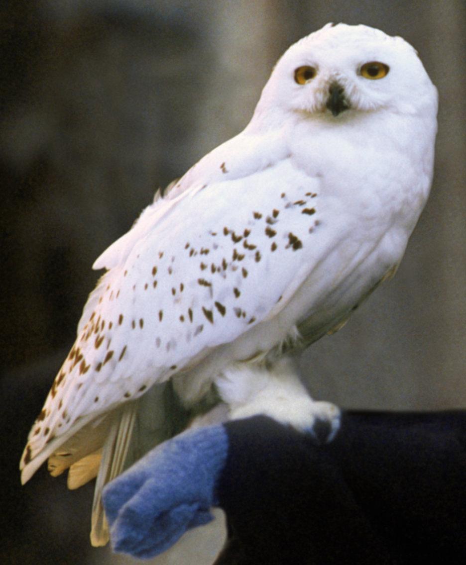 Snowy_Owl on Snowy Owls