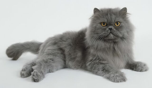 File:Blue-persian-cat-1-.jpg