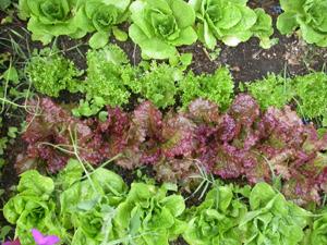 Lettuce