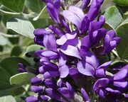 Sophora Calia secundiflora flor.jpg