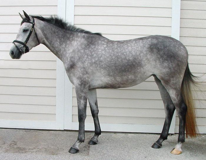 Dapple Gray Wikihorses Fandom Powered By Wikia