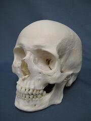 Caucasian Human Skull