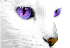 File:White Cat with Purple Eyes 2.png
