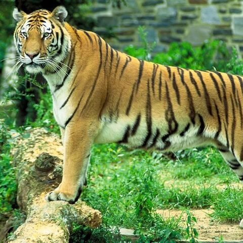 The Majestic Bengal Tiger