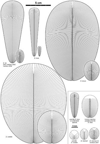 File:Dickinsonia species 2.png