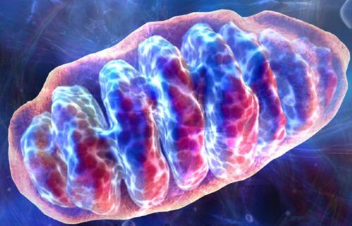 File:Mitochondria.jpg