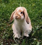 zwergwidder kaninchen wiki fandom powered by wikia. Black Bedroom Furniture Sets. Home Design Ideas