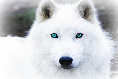 White Wolf With Purple Eyes Image - White-Wolf-Wit...