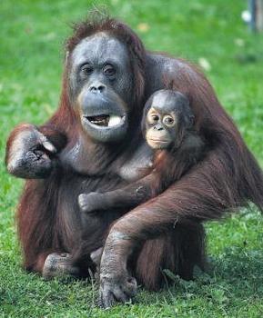 File:Apes(1).jpeg