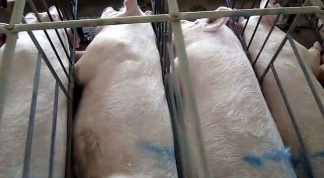 File:Gestation crates 3.jpg