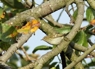 Yellow-browed Warbler - 21Sep2014 - Regent's Park - Pic A