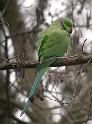 Ring-necked Parakeet MHP 06-02-2010 msr