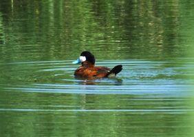 Ruddy Duck LWC 30.vii.2014