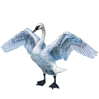 Huge item trumpeterswan 01