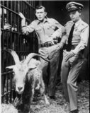 Loaded goat behind scenes