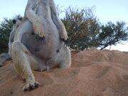 Pregnant meerkat