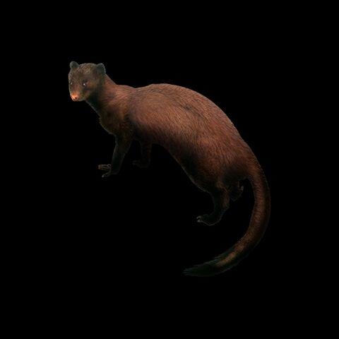 File:Marsh Mongoose.jpg
