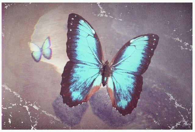 File:11 Morpho Butterfly.jpg