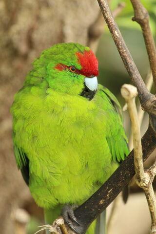 File:Parakeet.jpg